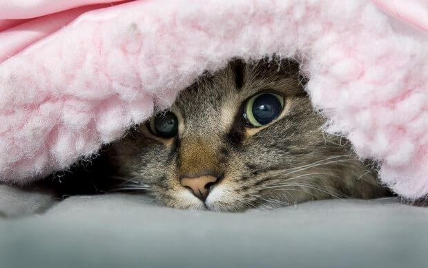 Blanket_Cat_1