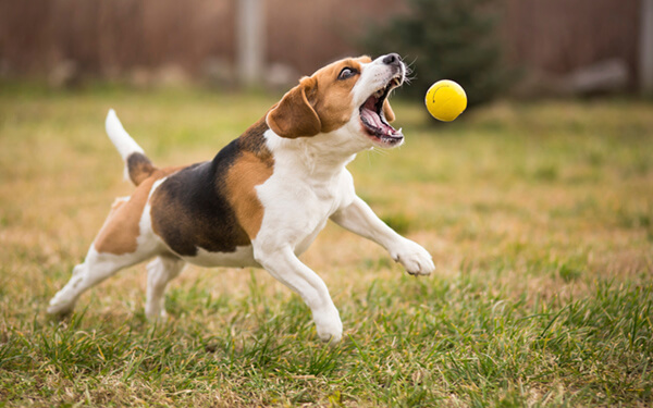 Playing fetch with cute beagle dog