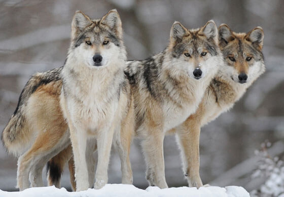 The role of wolf leader is similar to parents--guiding, teaching and caring for their pack members.