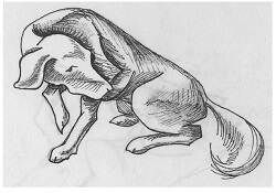 Figure 3  This dog is sitting with a raised paw which is a sign of appeasement.  the head and neck are turned away from confrontation and the tail is low on the ground or tucked underneath. This dog is also avoiding direct eye contact and showing signs of fear and submission.