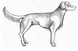 Figure 1.  This dog is bright and alert, but not aroused.  the tail is up, but in a neutral position as are the ears and the body is relaxed and not stiff.