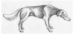Figure 2  This dog has its head, neck and tail lowered.  The eyes are averted and the dog is licking its nose (an ambivalent sign).  This posturing shows uncertainty and underlying fear, and is considered an appeasement behavior.