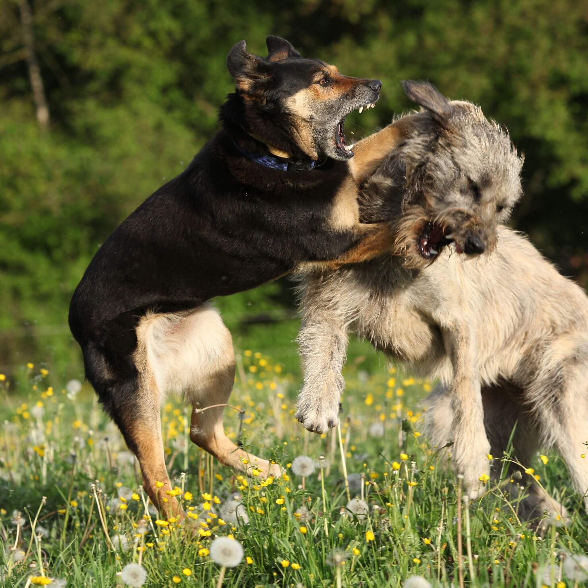 Dogs that are not well socialized or have deficits either in their ability to interpret or communicate with other dogs are more predisposed to aggressive confrontations