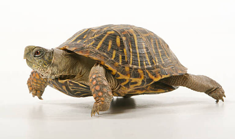 aztec animal clinic exotic animals box turtles